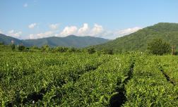 В Сочи рекордный урожай Краснодарского чая