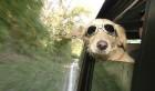 Subaru займется безопасностью собак в авто
