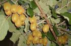 В Сочи собирают урожай киви
